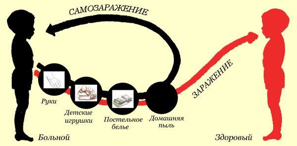 схема заражения глистами