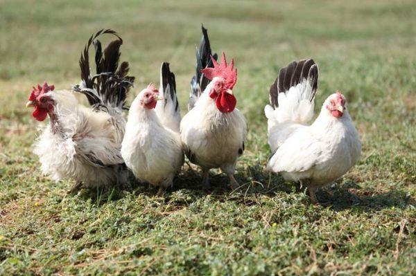 паразиты у домашних кур
