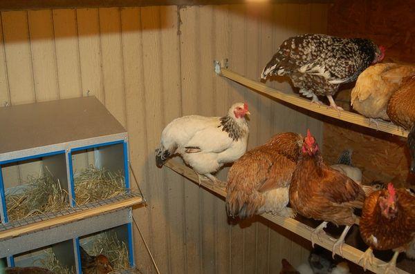 паразиты у кур в курятнике