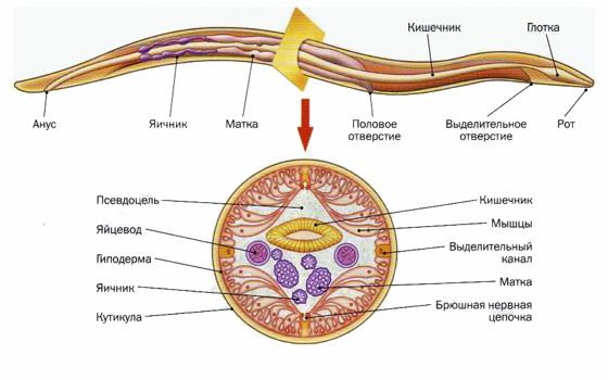 строение тела нематода