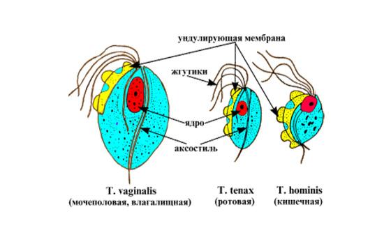 Внутреннее строение Трихомонады кишечной