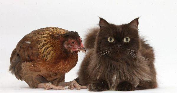 паразиты у кошек и кур