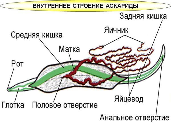 Особенности строения тела аскариды