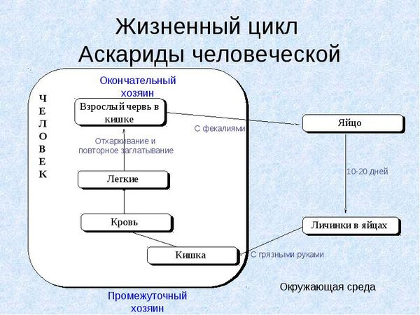 Жизненный цикл развития и размн