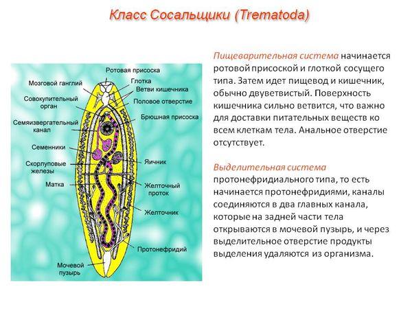 Класс Сосальщики (Trematoda)