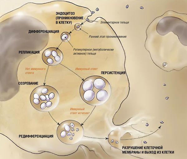клиническая картина хламидийной пневмонии