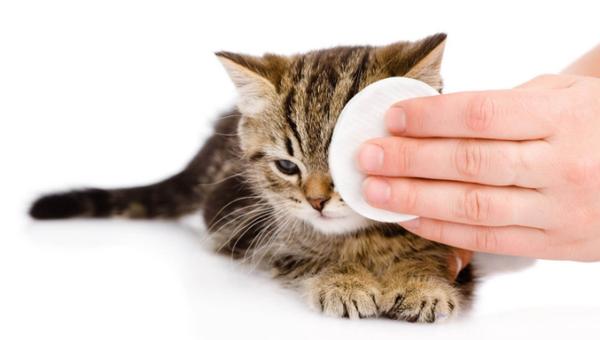 хламидиозный коньюктивит у кошки