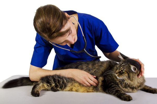 Диагностика и осмотр кота