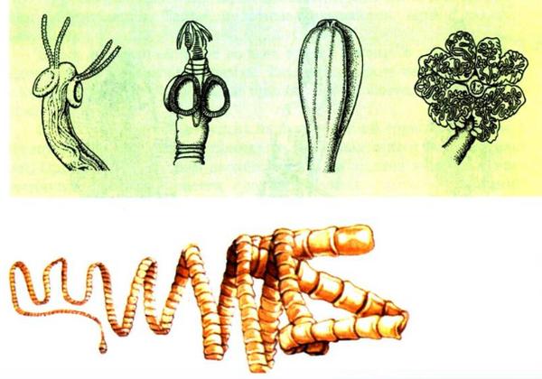 Особенности образа жизни паразита