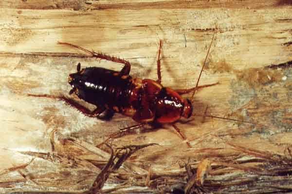Отряд тараканов или biattoidea
