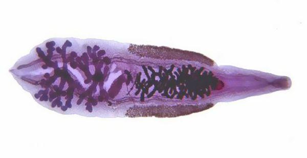 Причиной возникновения описторхоза являются трематоды Opisthorchidae, а точнее – два их вида
