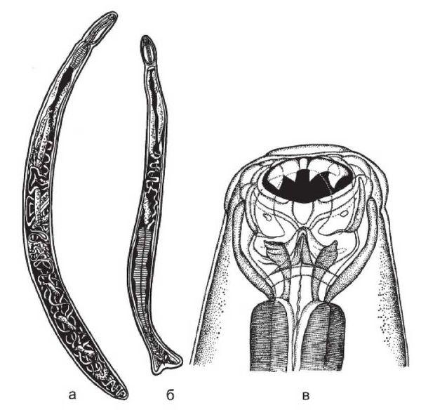 паразит некатор и анкилостома