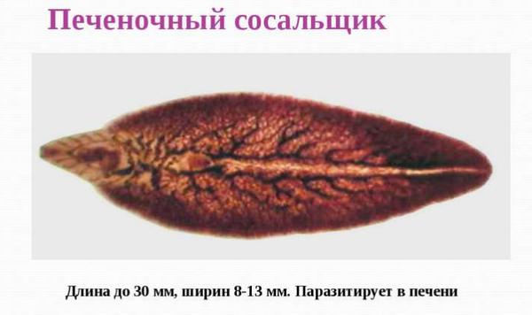 печеночная двуустка паразитирует в печени
