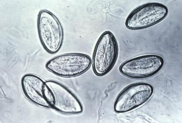 Яйца паразитов