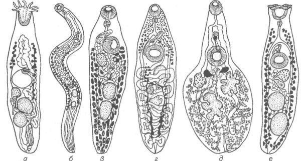 Паразиты плоские черви