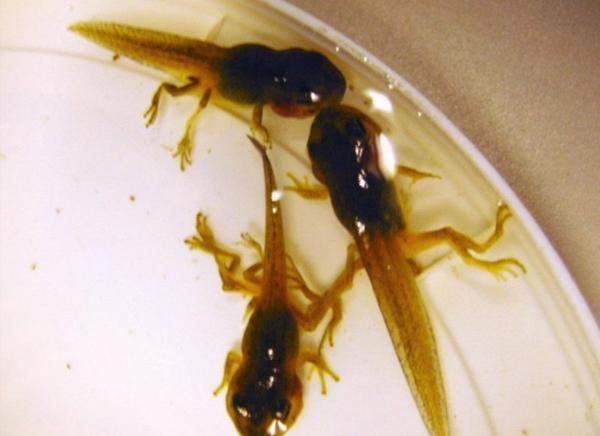 Негативное действие паразита трематоды