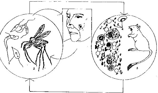 Лейшмания