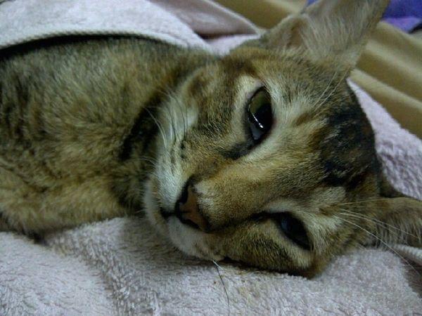 признаки токсоплазмоза у кота