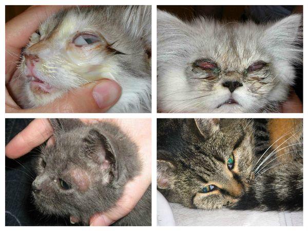 диагностика токсоплазмоза у кота