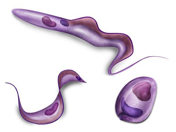 Трипаносома ─ простейшее-паразит