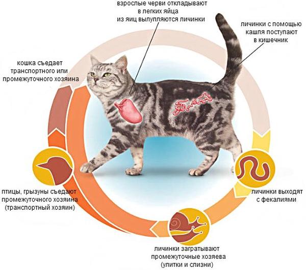 Лечение глистов у кошек в домашних условиях