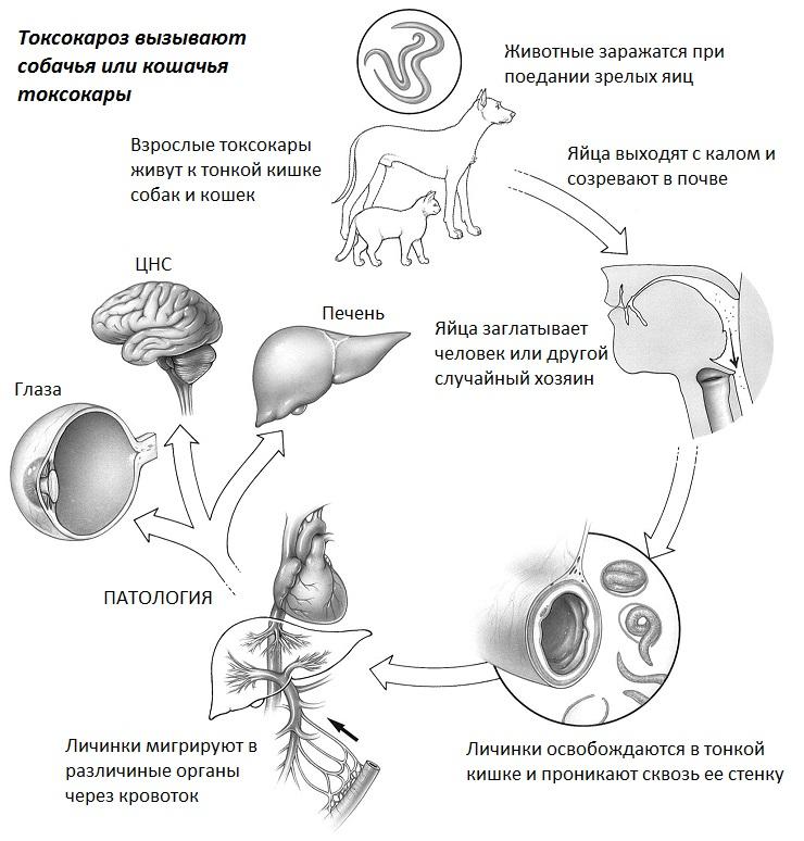 Механизм развития токсокароза
