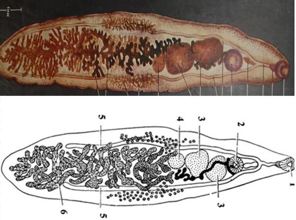 Развитие паразита ланцетовидная двуустка