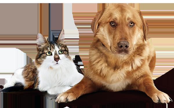 Миаз у кошек и собак