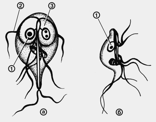 Схематическое изображение вегетативной формы лямблии