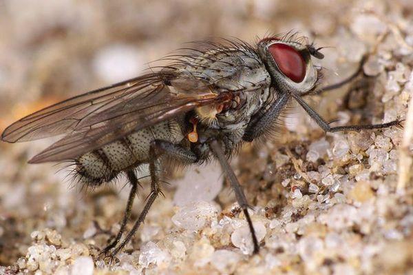 Миаз - личинки мух Тумбу