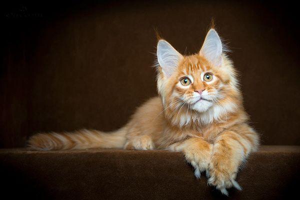 Токсоплазмоз у кошек симптомы и лечение