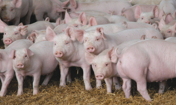 Цистицеркоз свиней (финноз)