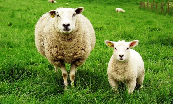 Цистицеркоз овец