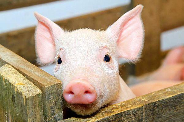 молодая свинья