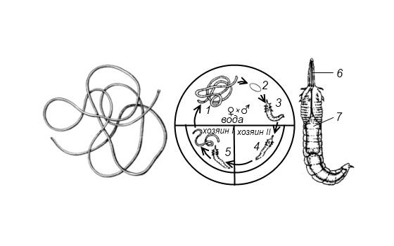 Жизненный цикл волосатика