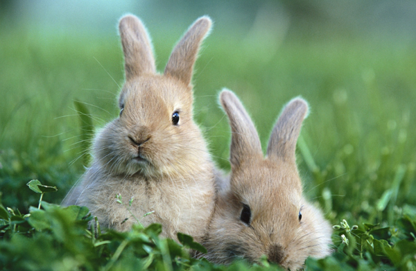 паразиты у кроликов