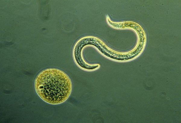 Описание гельминтоза