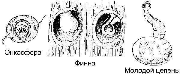 Возбудитель эхинококкоза