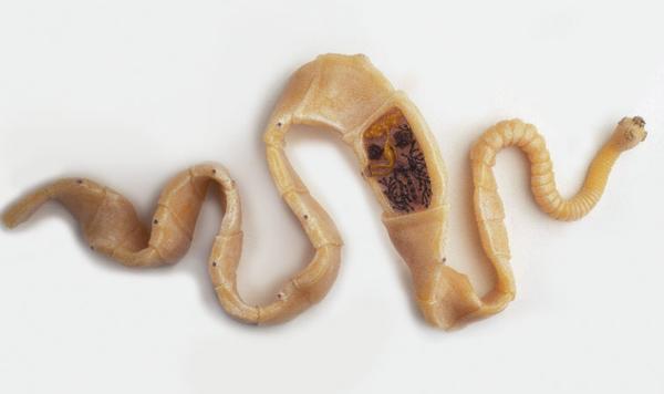 Тип червей Цестоды