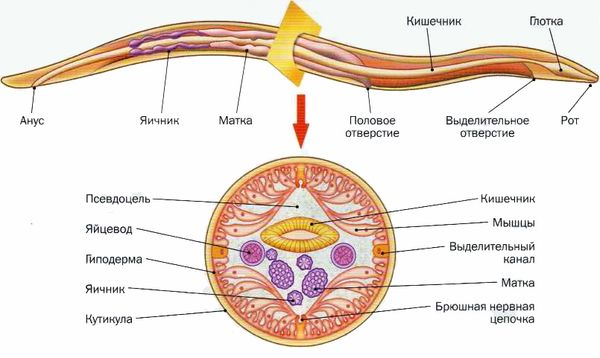 Как лечить аскариды у беременных