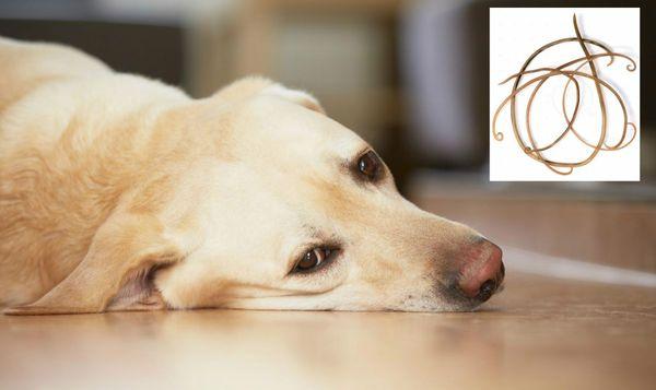 сердечные глисты у собак профилактика