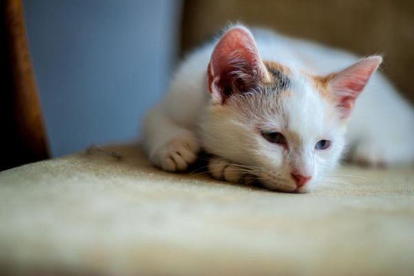 паразиты у кошки лечение