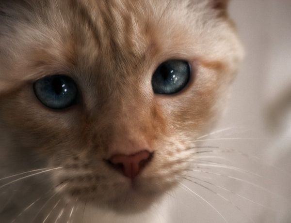 сосальщик (двуустка) у кошек