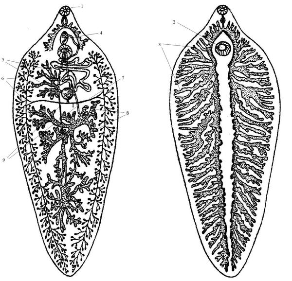 Строение паразита
