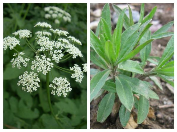 Цитварное семя или цветы полыни