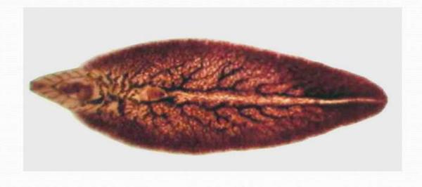паразит Печёночный сосальщик