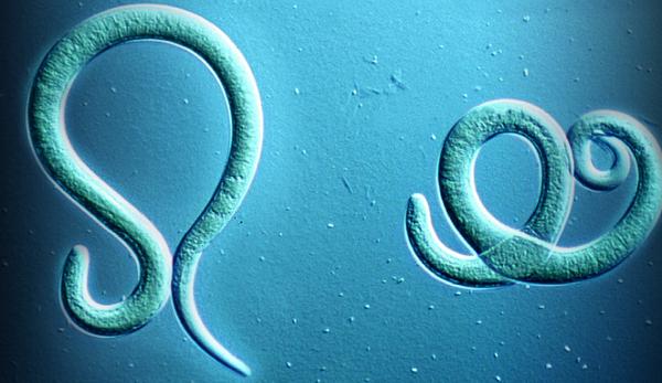 паразит острица