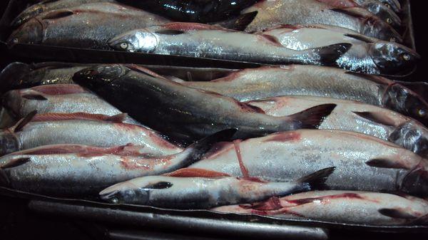 глисты в рыбе минтай