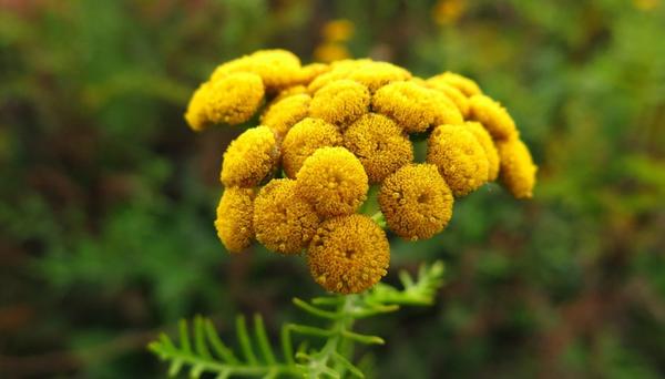 Пижма от глистов: лечение отваром из цветков