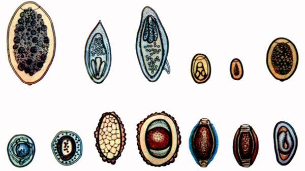 разновидности глистов у человека видео